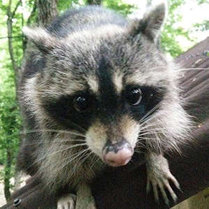 raccoon_300x300